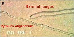 pythium-oligandrum1